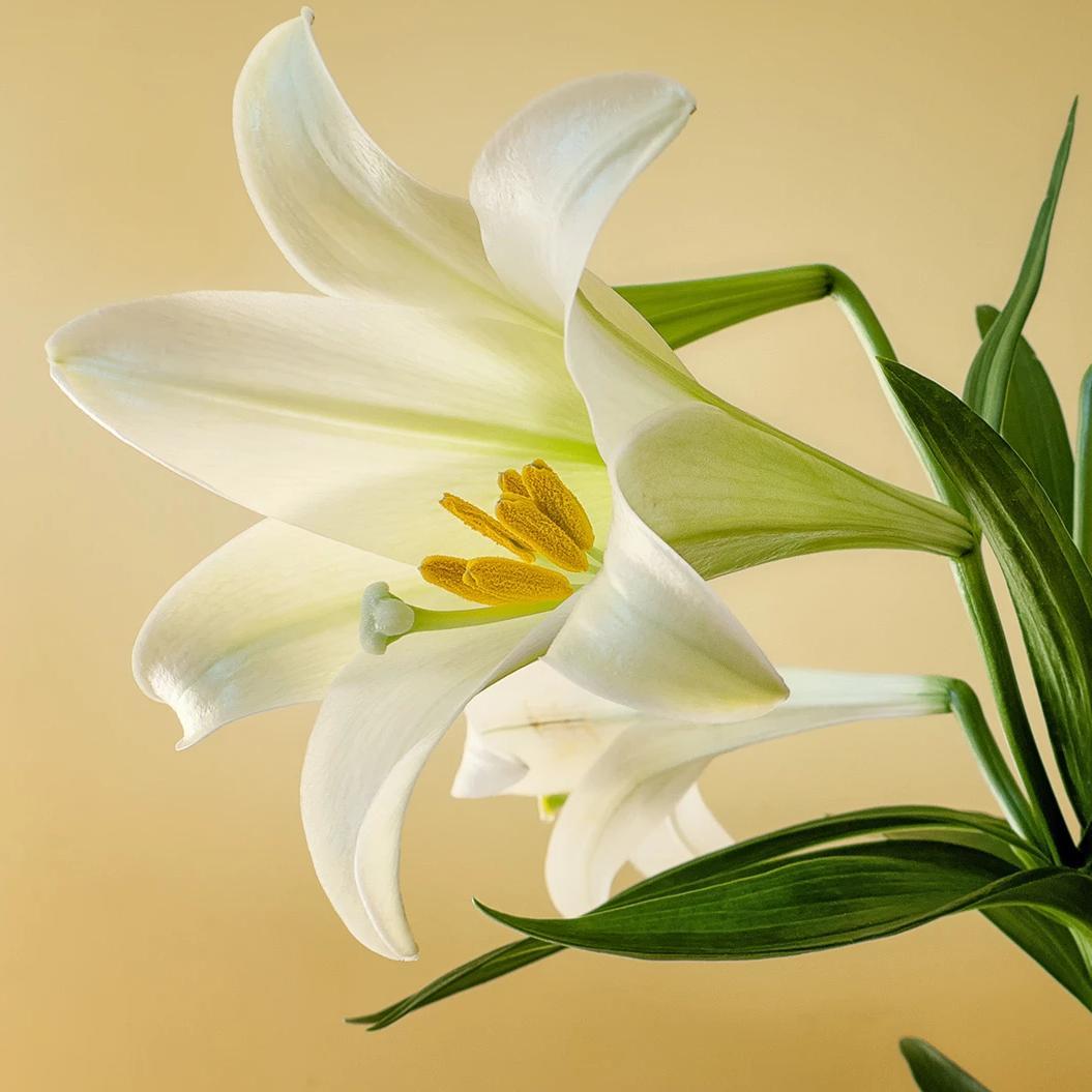 Incense-Lily of Aegina