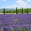 Incense-Lavender Wood 1 Pound